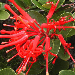 Embothrium coccineum Chilean Fire Bush, Chilean Firebush seed for sale