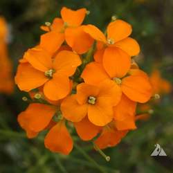Erysimum x MARSHALLII Siberian Wallflower seed for sale