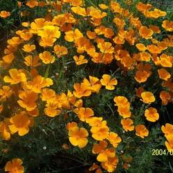 Eschscholzia californica California Poppy seed for sale