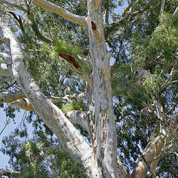 Eucalyptus camaldulensis Murray Red Gum, River Redgum seed for sale