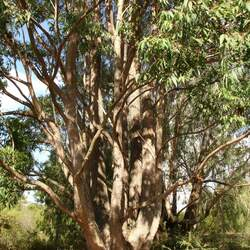 Eucalyptus cloeziana Cloeziana Gum, Queensland Messmate, Gympie Messmate, Yellow Messmate, Dead Finish seed for sale