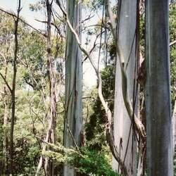 Eucalyptus nitens Shining Gum seed for sale