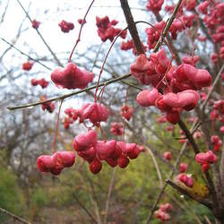 Euonymus atropurpureus Burningbush, Wahoo, Eastern Wahoo, Indian Arrow Wood seed for sale