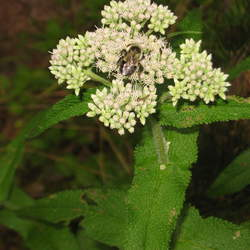 Eupatorium perfoliatum Common Boneset, Thoroughwort seed for sale