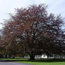 Fagus sylvatica   Purpurea Copper Beech seed for sale