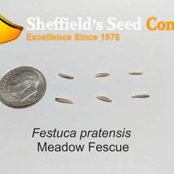 Festuca pratensis Meadow Fescue seed for sale