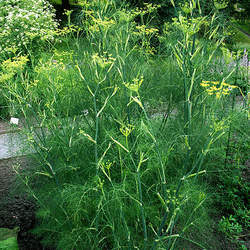 Foeniculum vulgare Sweet Fennel seed for sale