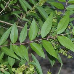 Fontanesia phillyraeoides Syrian-privet, Fontanesia seed for sale