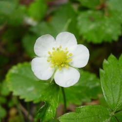 Fragaria vesca Woodland Strawberry, Wild Strawberry seed for sale