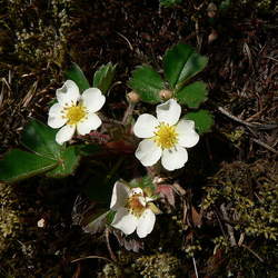 Fragaria virginiana Virginia Strawberry, Wild Strawberry, Common Strawberry seed for sale