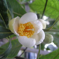 Franklinia alatamaha Franklinia, Franklin Tree seed for sale