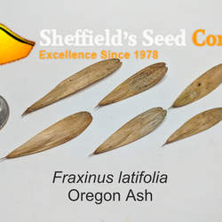 Fraxinus latifolia Oregon Ash seed for sale
