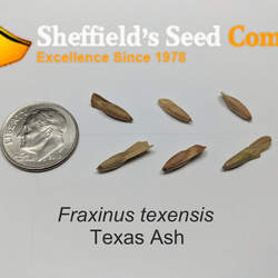 Fraxinus texensis Texas Ash seed for sale