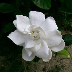 Gardenia jasminoides Cape Jasmine, Common Gardenia seed for sale