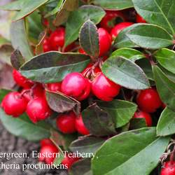 Gaultheria procumbens Eastern Teaberry, Wintergreen, Checkerberry seed for sale