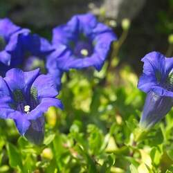 Gentiana acaulis Stemless Gentian, Gentian seed for sale