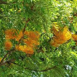 Grevillea robusta Silky Oak, Silkoak seed for sale