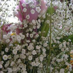 Gypsophila elegans   Covent Garden Covent Garden Babys Breath, Showy Baby's-breath seed for sale