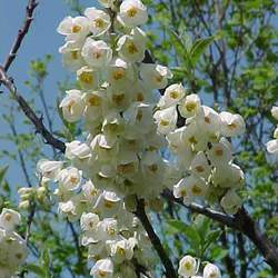 Halesia carolina Carolina Silverbell seed for sale