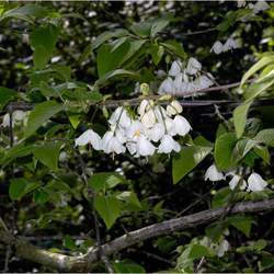Halesia parviflora Little Silverbell, Florida Silverbell seed for sale
