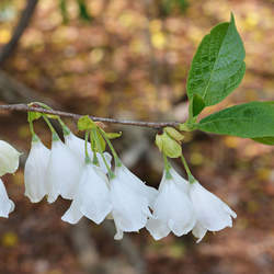 Halesia tetraptera Common Silverbell seed for sale
