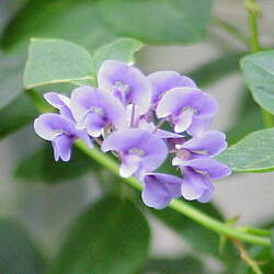 Hardenbergia violacea Coral-pea, Vine Lilac, Purple Coral Pea, False Sarsaparilla seed for sale