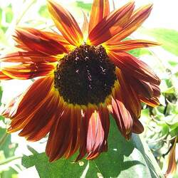 Helianthus annuus   Autumn Beauty Autumn Beauty Common Sunflower seed for sale