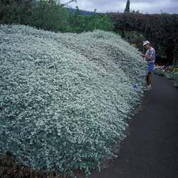 Helichrysum petiolatum Licorice Plant, Silver-bush Everlasting Flower, Trailing Dusty Miller seed for sale