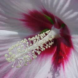 Hibiscus moscheutos  Palustris Crimsoneyed Rosemallow, Marsh Mallow, Common Rose Mallow seed for sale