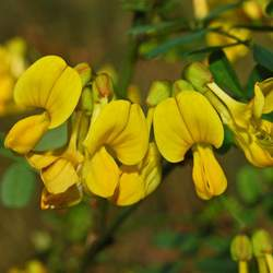 Hippocrepis emerus Scorpion Senna seed for sale