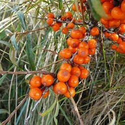 Hippophae rhamnoides Sea Buckthorn, Seaberry seed for sale