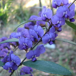 Hovea elliptica Tree Hovea, Blue Karri Bush seed for sale