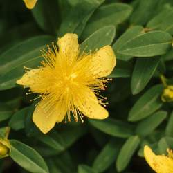 Hypericum calycinum Aaron's Beard, Rose-of-Sharonwort, Creeping St. Johnswort, Goldflower seed for sale