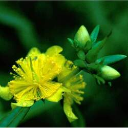 Hypericum prolificum Shrubby St. Johnswort seed for sale