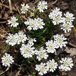 Iberis sempervirens Evergreen Candytuft seed for sale