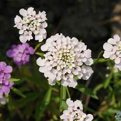 Iberis umbellata   Dwarf Fairy Dwarf Fairy Candytuft seed for sale