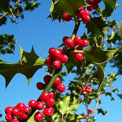 Ilex aquifolium English Holly seed for sale