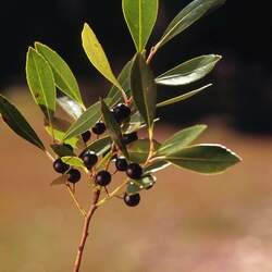 Ilex glabra Ink Berry, Appalachian Tea, Dye-leaves, Evergreen Winterberry, Gallberry seed for sale