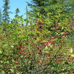 Ilex mucronata Catberry, Mountain Holly seed for sale