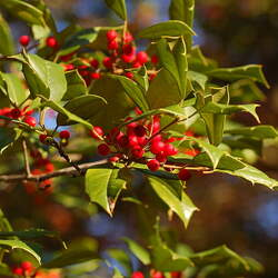 Ilex opaca    Northern Northern American Holly, American Holly seed for sale
