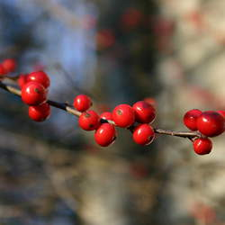 Ilex verticillata Winterberry, Common Winterberry seed for sale