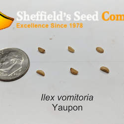 Ilex vomitoria Yaupon, Yaupon Holly, Cassina seed for sale