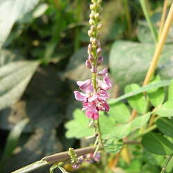 Indigofera pseudotinctoria Indigo, Indigo Bush seed for sale