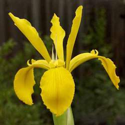 Iris crocea German Iris, Golden Flag seed for sale
