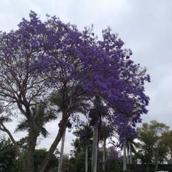 Jacaranda mimosifolia Black Poui, Jacaranda, Blue Jacaranda, Green Ebony Tree, The Fern Tree seed for sale