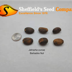 Jatropha curcas Barbados Nut, Physic Nut seed for sale