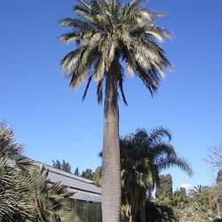 Jubaea chilensis Chile Cocopalm, Chilean Wine Palm seed for sale