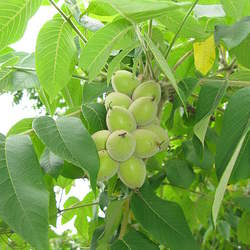Juglans ailantifolia Japanese Walnut seed for sale