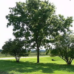 Juglans nigra    Southern Black Walnut, Southern Black Walnut, Eastern Black Walnut seed for sale