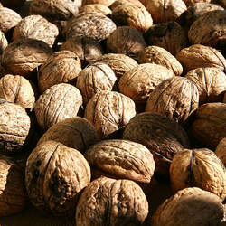 Juglans regia   Carpathian Carathian English Walnut seed for sale